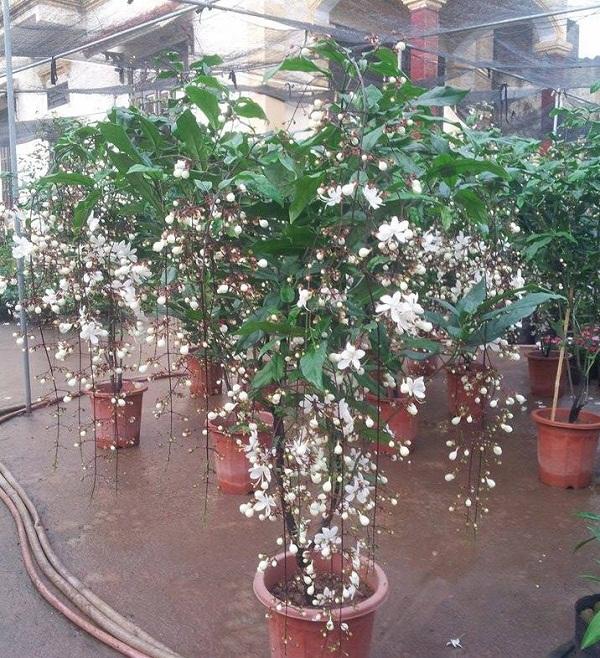Kỹ thuật trồng cây dạ ngọc minh châu