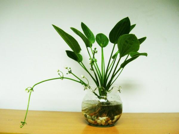 Hướng dẫn trồng cây hoa Bách thủy tiên cực dễ