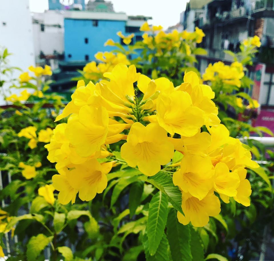 Kỹ thuật trồng cây hoa chuông vàng