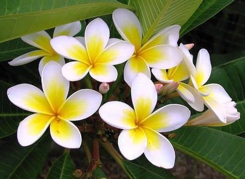 Kỹ thuật trồng cây hoa đại mang sắc xuân rực rỡ