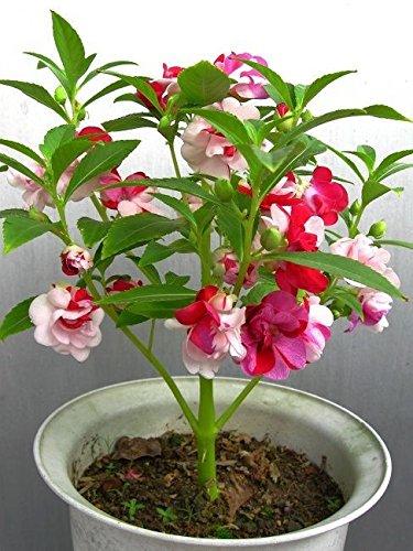 Kỹ thuật trồng cây hoa móng tay rực rỡ sắc hương