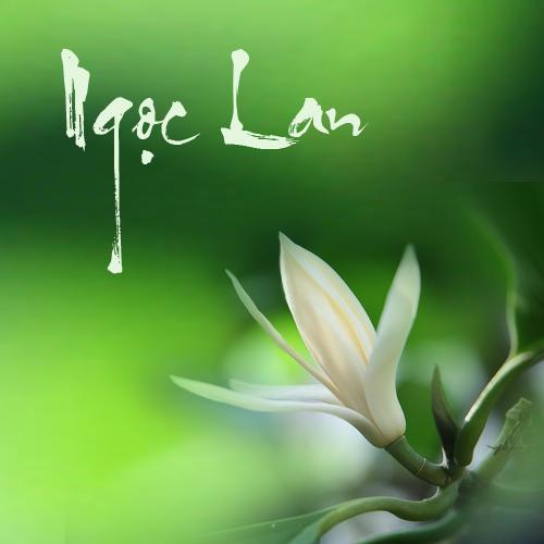 Kỹ thuật trồng cây hoa Ngọc lan giúp xua đuổi điềm xấu