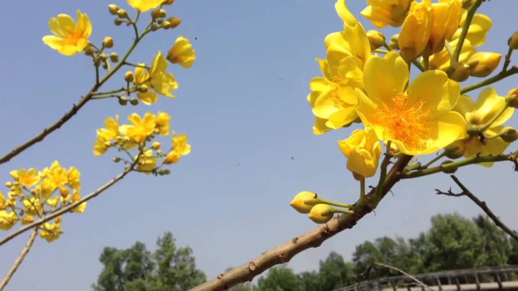 Kỹ thuật trồng cây Mai hoa đăng đem đến sắc Xuân