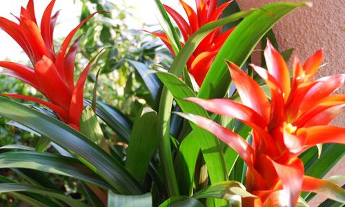 Kỹ thuật trồng cây Phong lộc mang ý nghĩa phong thủy