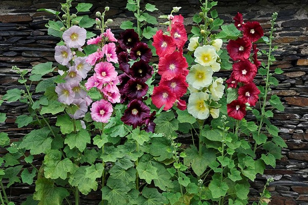 Kỹ thuật trồng cây hoa Thục quỳ chữa bệnh cực tốt
