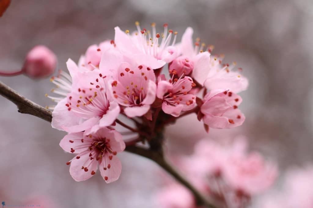 Kỹ thuật trồng hoa Anh đào đẹp kiêu sa