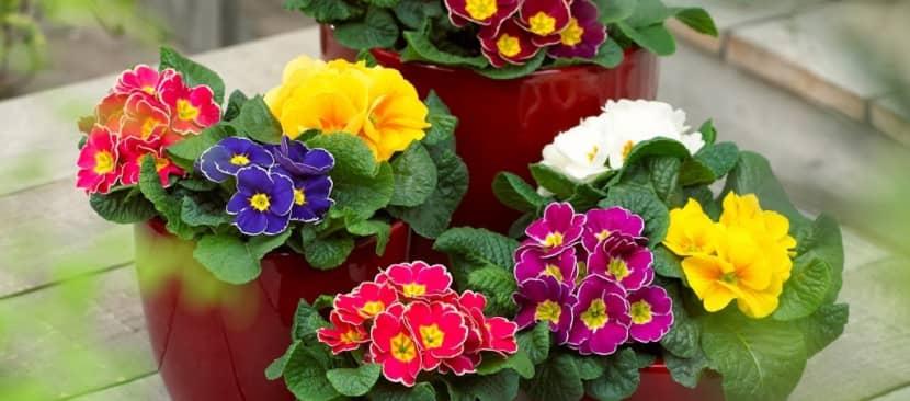 Kỹ thuật trồng cây hoa báo xuân rực rỡ sắc hương