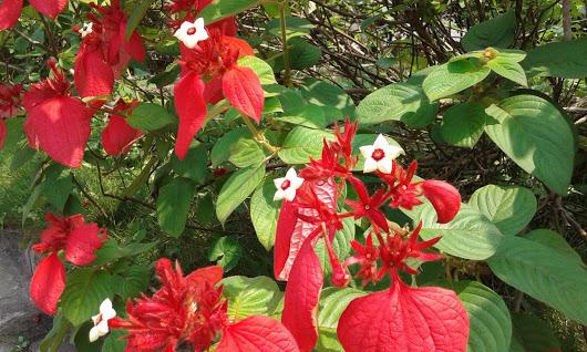 Hướng dẫn trồng cây hoa bướm đỏ đẹp ấn tượng