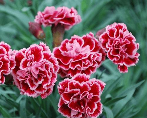 Kỹ thuật trồng hoa cẩm chướng bằng cành