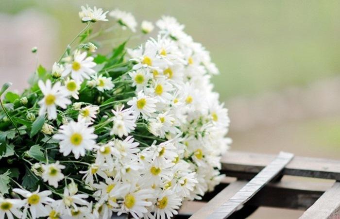Hướng dẫn trồng hoa Cúc họa mi quanh nhà đẹp tinh khôi
