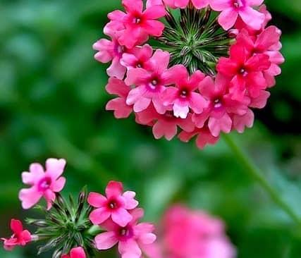 Kỹ thuật trồng hoa Cúc Indo đẹp dịu dàng