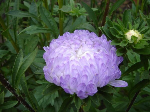 Kỹ thuật trồng hoa cúc kim cương xanh