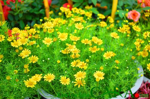 Kỹ thuật trồng hoa Cúc sao băng trong chậu