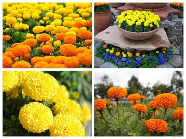 Kỹ thuật trồng hoa cúc vạn thọ
