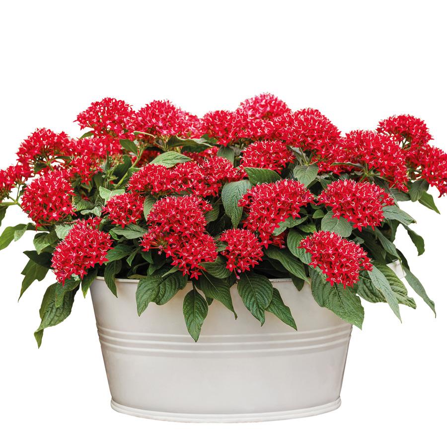 Kỹ thuật trồng hoa diễm châu