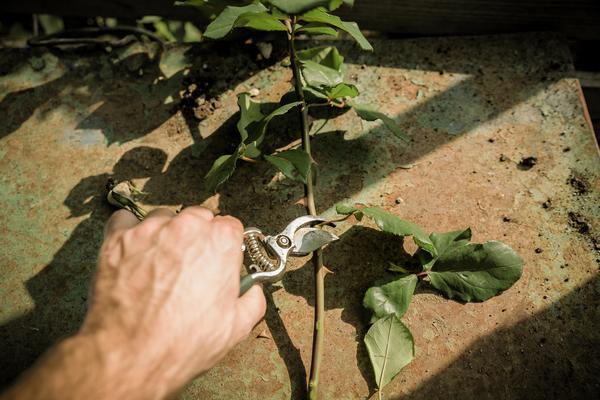 Kỹ thuật trồng hoa hồng bằng cành đẹp rực rỡ