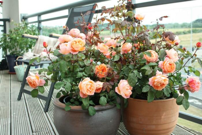 Kỹ thuật trồng hoa hồng bằng hạt ra hoa nhanh chóng