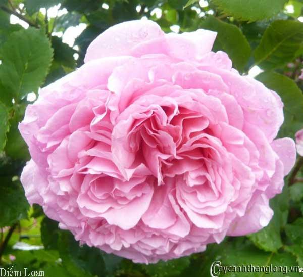 Hướng dẫn trồng hoa Hồng leo Diễm Loan đẹp rực rỡ