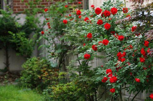 Kỹ thuật trồng hoa hồng leo Pháp nhiều màu