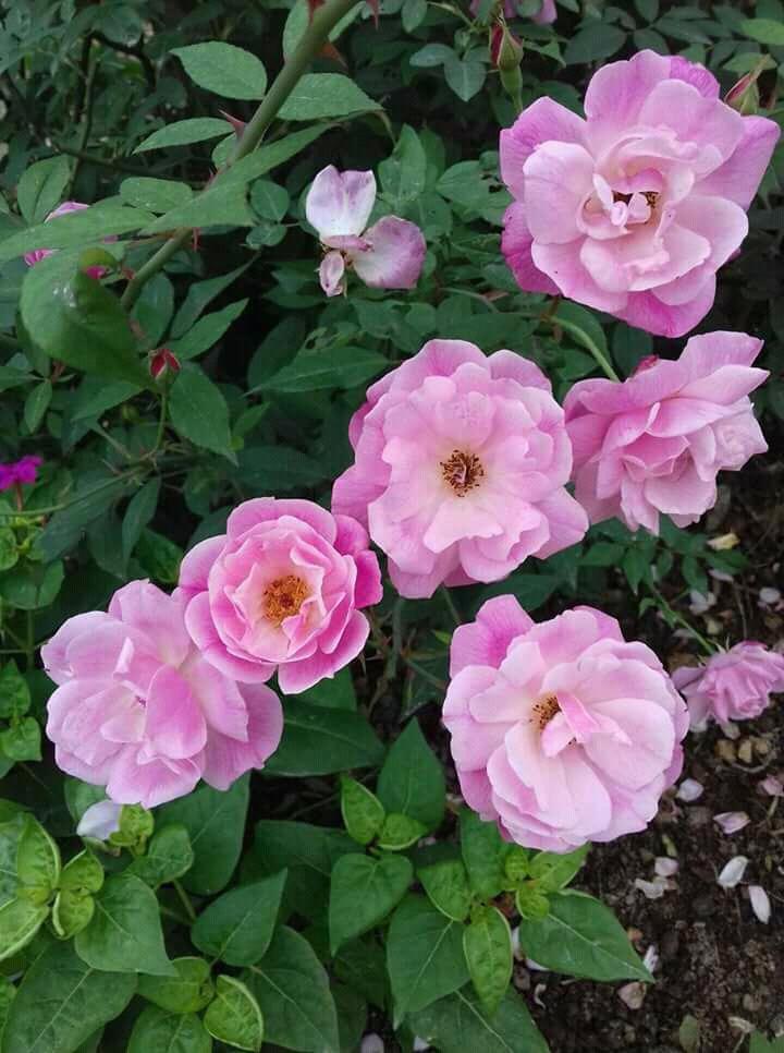 Kỹ thuật trồng hoa hồng quế cánh kép thơm ngát hương