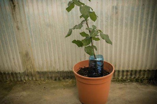 Kỹ thuật trồng hoa hồng từ củ khoai tây