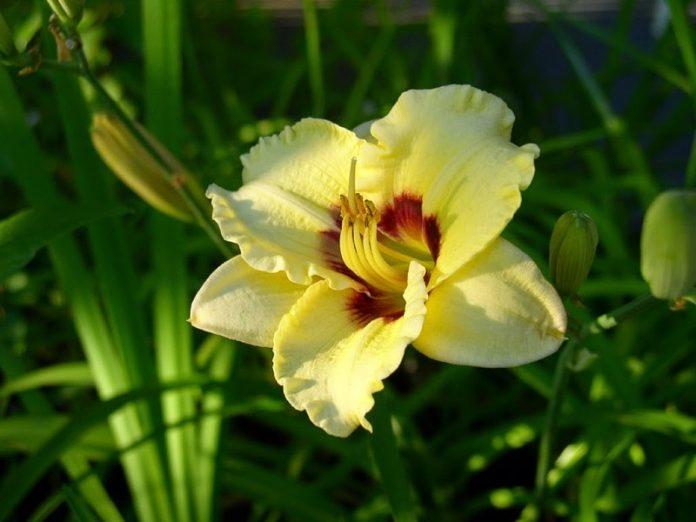 Kỹ thuật trồng hoa huệ tây