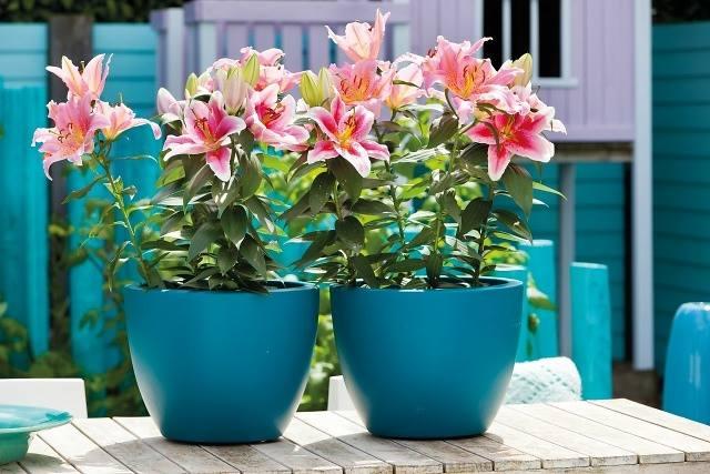 Tự tay trồng hoa ly lùn trong chậu cực kỳ đơn giản