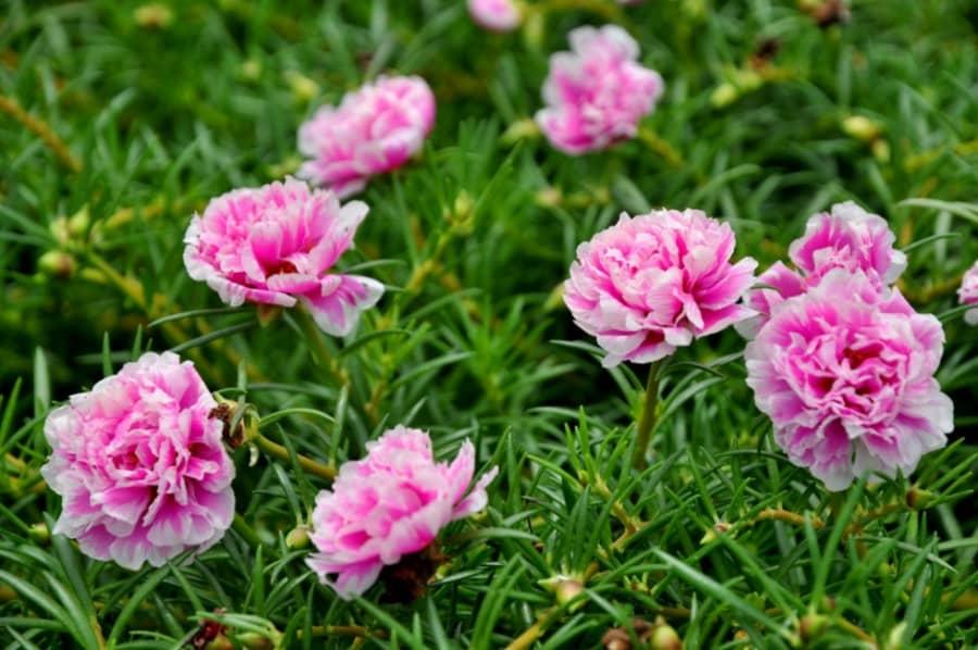 Kỹ thuật trồng hoa mười giờ