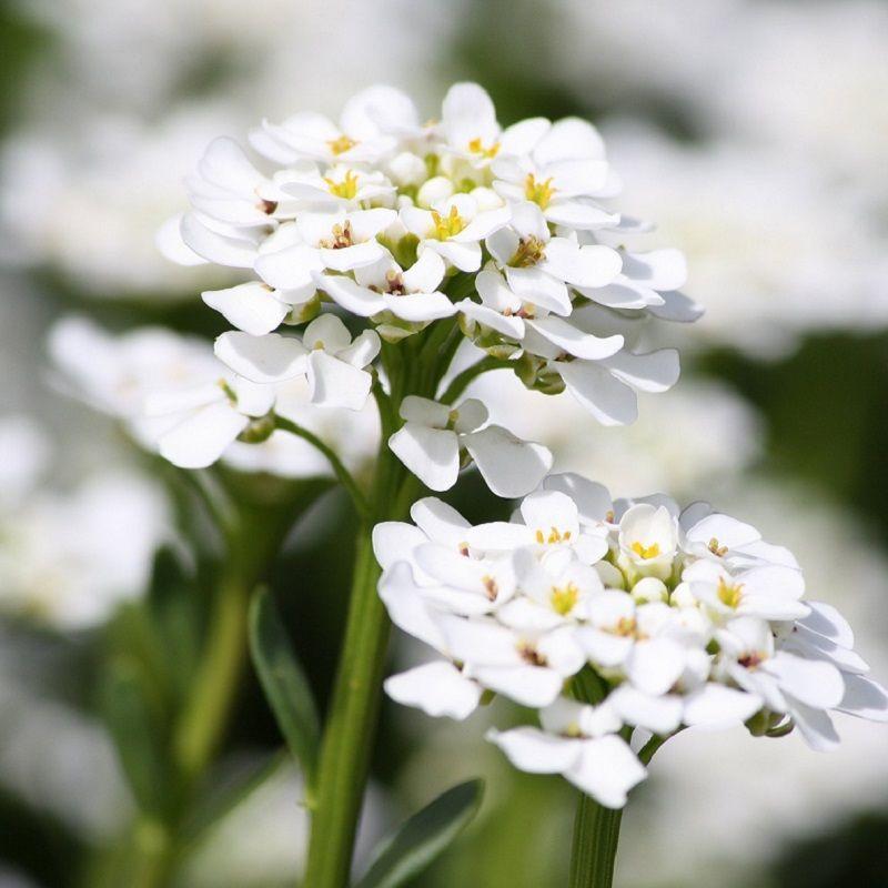Hướng dẫn trồng hoa Ngàn sao rực sắc hương