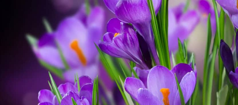 Hướng dẫn trồng cây hoa Nghệ tây chữa bệnh thần kì