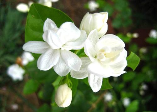 Hướng dẫn trồng hoa Nhài làm thuốc cực hữu hiệu