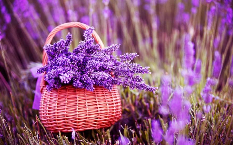 Kỹ thuật trồng hoa oải hương tuyệt đẹp