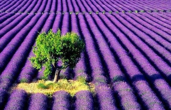 Kỹ thuật trồng hoa oảiKỹ thuật trồng hoa oải hương tuyệt đẹpKỹ thuật trồng hoa oải hương tuyệt đẹpKỹ thuật trồng hoa oải hương tuyệt đẹpKỹ thuật trồng hoa oải hương tuyệt đẹpKỹ thuật trồng hoa oải hương tuyệt đẹp hương tuyệt đẹp