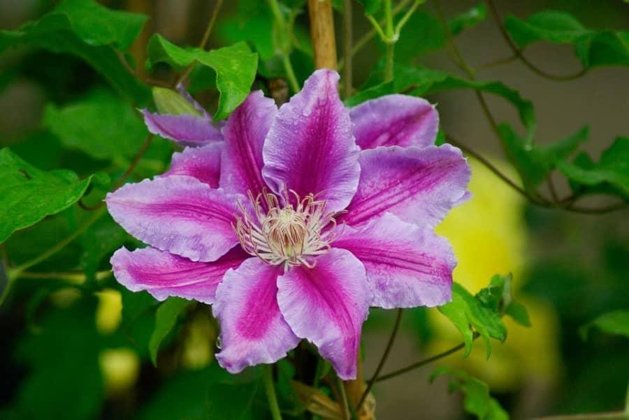 Kỹ thuật trồng hoa ông lão đẹp mê mẩn