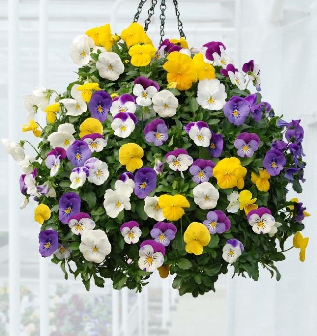 Trồng hoa Păng xê tô điểm cho ban công thêm rực rỡ