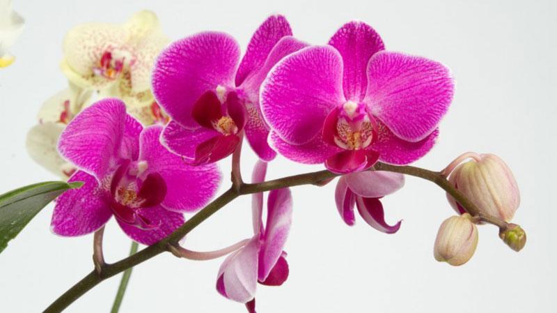 Kỹ thuật trồng và chăm sóc hoa phong lan