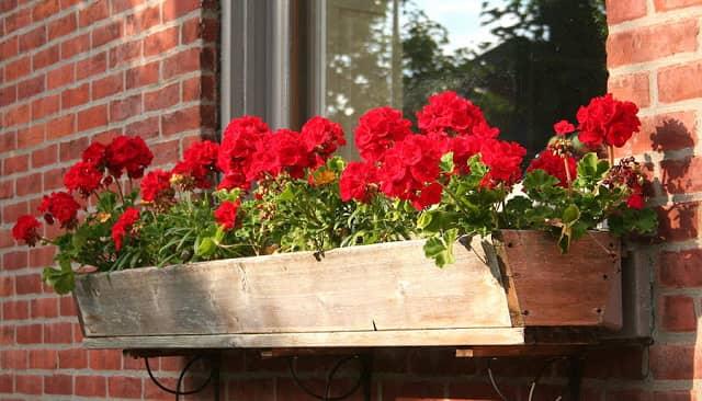 Kỹ thuật trồng hoa phong lữ thảo