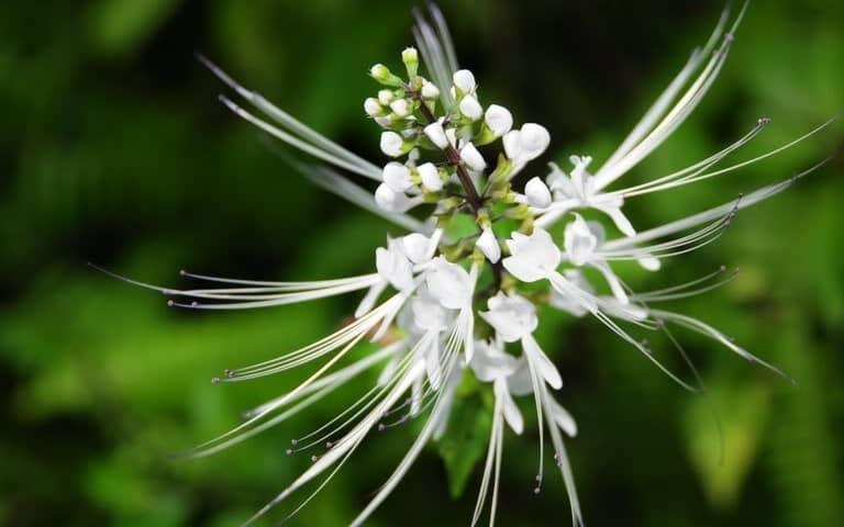 Kỹ thuật trồng hoa râu mèo đẹp lung linh