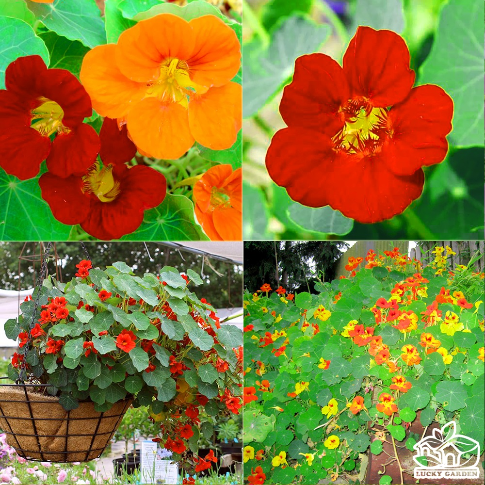 Kỹ thuật trồng hoa sen cạn đuổi muỗi mùa mưa