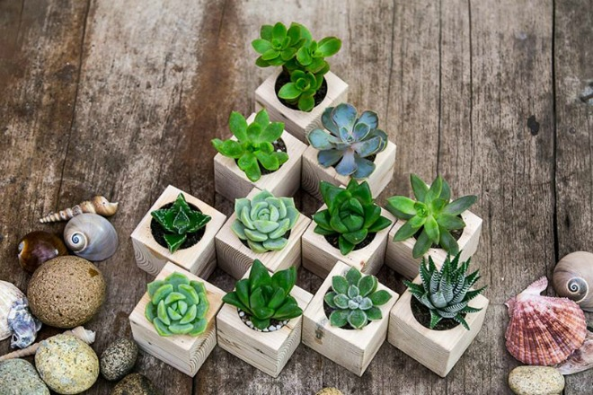 Kỹ thuật trồng hoa sen đá trong chậu