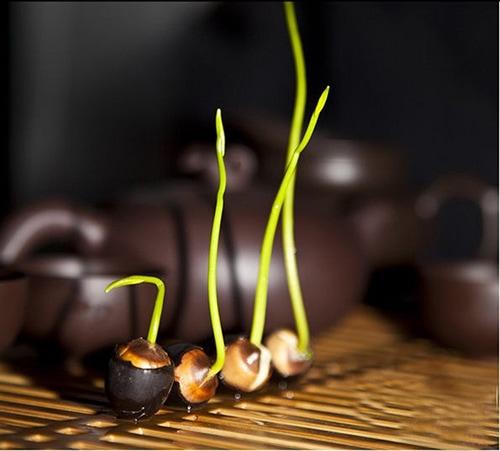 Kỹ thuật trồng hoa sen Nhật bằng hạt để bàn cực yêu