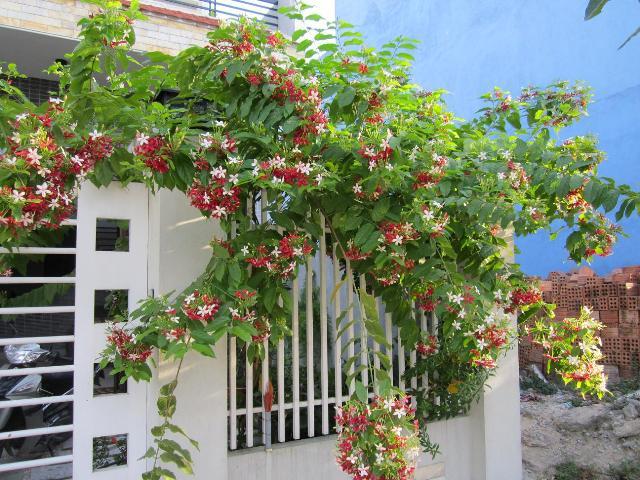 Hướng dẫn trồng hoa sử quân tử mát rượi