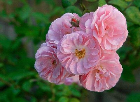 Kỹ thuật trồng hoa Tầm xuân hồng đẹp ngây ngất