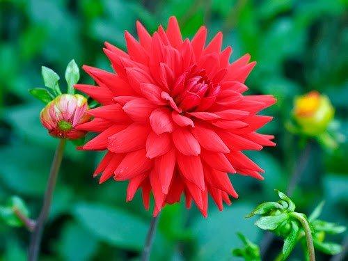 Hướng dẫn trồng hoa thược dược