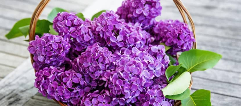 Kỹ thuật trồng hoa tử đinh hương