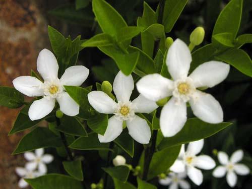 Hướng dẫn trồng cây hoa Mai chỉ thiên để trừ tà