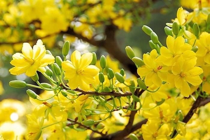 Kỹ thuật trồng và chăm sóc hoa mai vàng