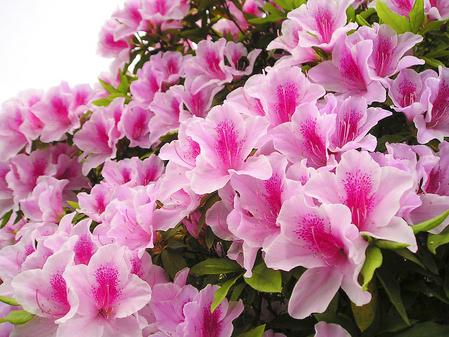 Kỹ thuật làm đất và chăm sóc hoa đỗ quyên