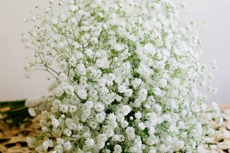 Biểu tượng và ý nghĩa của hoa Baby