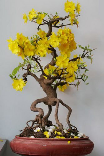 Kỹ thuật cắt tỉa cây hoa mai